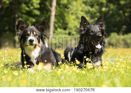 Two dogs Border Collie lying in the grass with yellow flowers
