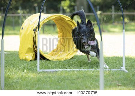 Dog Border Collie running agility hooper training