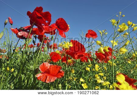 Red poppies gowing on field in sunny summer day.