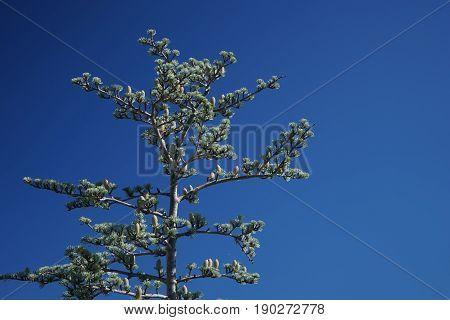 Cédrus atlántica tree on the background of blue sky