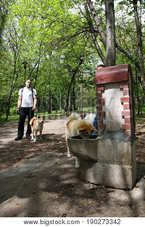 Akita Inu puppy waitng for another Akita to finish drinking water