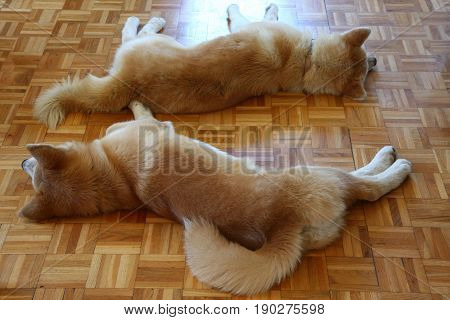 Akita Inu dogs resting on the floor