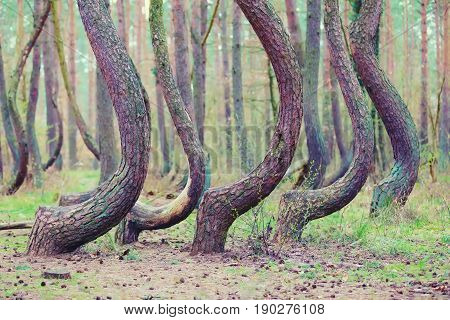 Crooked Forest In Gryfino In Poland