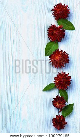 Vertical Frame of Straw Flower Strohblume with Green Leafs In a Row closeup on Light Blue Wooden background