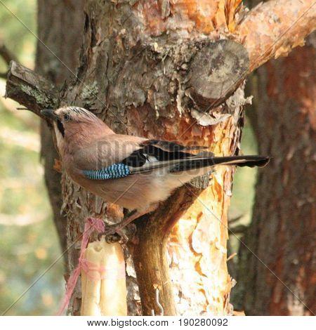 Geai oiseau animal nature plumes coloré  forêt