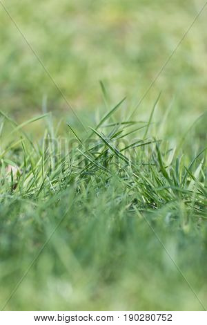 meadow glade with carpet green grass in macro. narrow depth of field