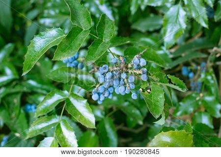 garden hedgerow evergreen bush with blue berries and magnificent bright green leaves