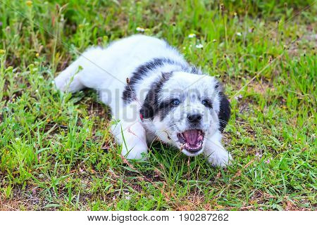 Cute white and black bulgarian sheep dog puppy barking with open mounth in the grass closeup