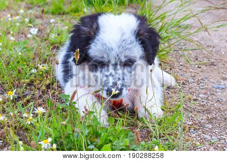 Cute white and black bulgarian sheep dog puppy looking at the flower
