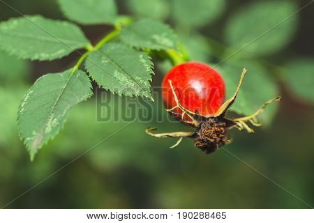 Rose Hip With Green