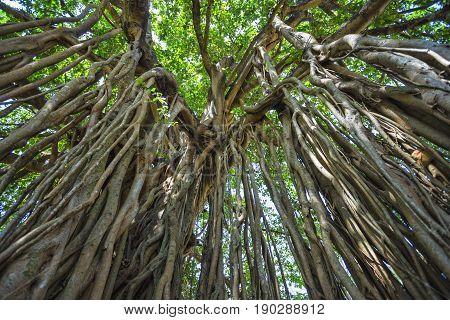 Sacred Tree In The Jungle. India. Goa