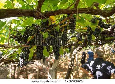 Bunches of Tinta Negra Mole grapes on pergola in Estreito de Camara de Lobos on Madeira. Portugal