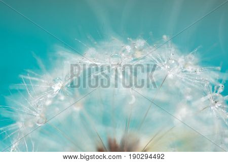 Macro of a dandelion with droplets on the delicate blue background. selective focus.
