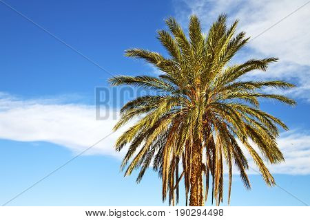 Palm In The  Desert Oasi Morocco Sahara