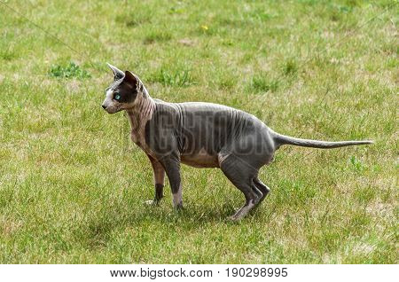 Canadian hairless sphinx cat on green meadow