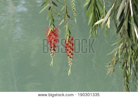 Red flower of the weeping willow tree planted by the water of a small lake. Beauty of the Cuban countryside