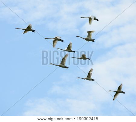 Flock of white whooper swans in flight