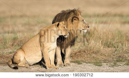 Mating pair of African Lions in the Savuti area of Botswana