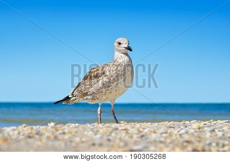 Large Black Sea Seagulls In The Natural Habitat.