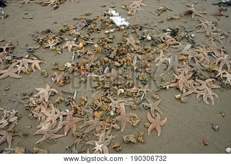 Lots of dead marine animals washed up on the beach after a winter storm. Mostly starfish but with some razorshells and cockles. Background of sand and a little snow.