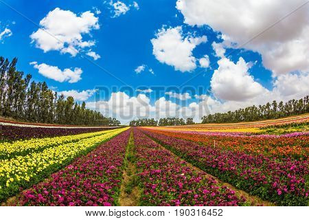 Walk on a sunny day. Farm field of fine flowers. Garden buttercups bloom in bright colors. The concept of eco-tourism