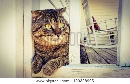 A mackerel Tabby cat sitting on the front porch keeping guard.