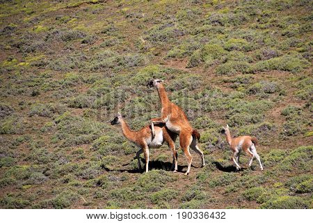 Mating guanacos in Torres del Paine National Park, Patagonia, Chile