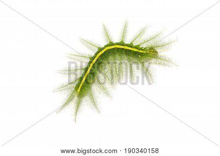 Mango Baron (euthalia Aconthea) Caterpillar