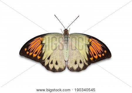 Great Orange Tip (hebomoia Glaucippe) Butterfly