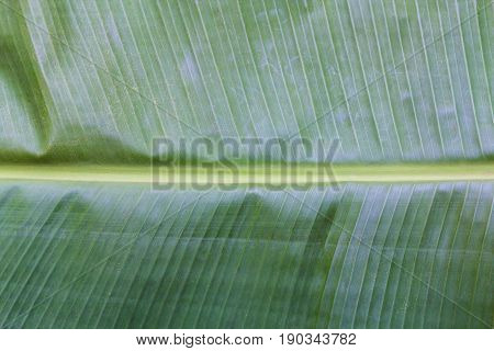 Close up green banana leaf texture background.