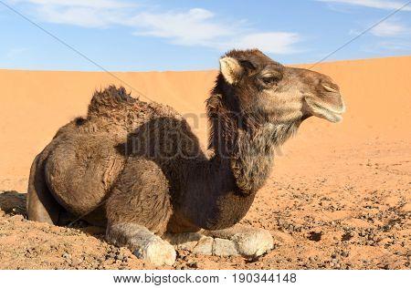 Camel in Erg Chebbi Sand dunes in Sahara Desert near Merzouga Morocco