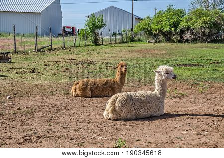 Llamas (lama glama) resting in the sun. The brown one is alert to its surroundings while the white one seems to be unconcerned