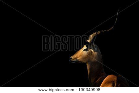 Male Impala Ram with dark background in the Savuti area of the Chobe National Park in Botswana