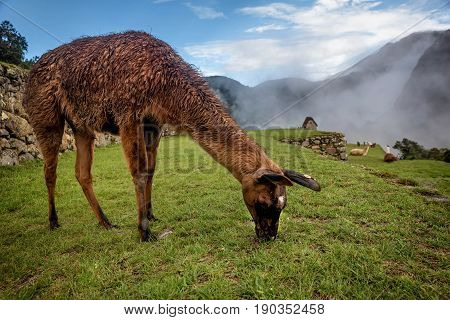 Alpaca eating grass in Machu Picchu in  Peru