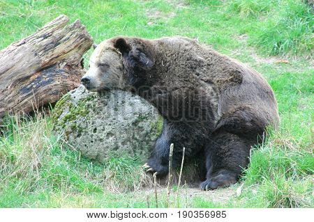Wild bear sleeping on large rock outdoors.