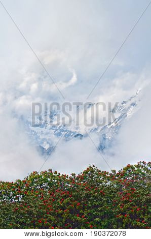 Rhododendron blooming trees and Mountain surrounded by clouds. Mount Cloudy Landscape in Himalaya. Cloudscape. Nepal, Annapurna region, Mardi Himal track.