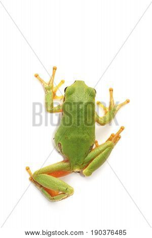 Tree frog (Hyla arborea) on a white background