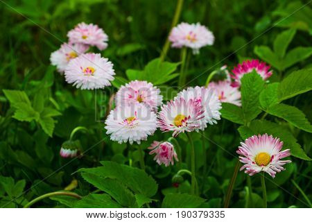 White and pink marguerite flowers in green grass in the garden. Selective focus.
