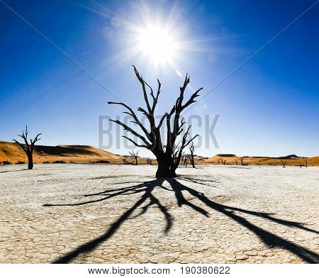 Large clay and salt pan with braided Acacia trees surrounded by majestic sand dunes. Namib Naukluft National Park.