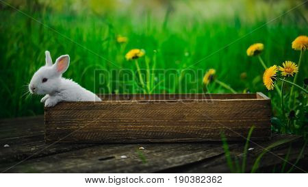 Little white rabbit sits in a box on a wooden board on a background of grass and yellow dandelions on a summer day concept: a fluffy bunny in a box.