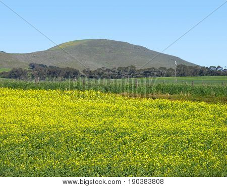 FROM DURBANVILLE, CAPE TOWN SOUTH AFRICA,YELLOW FIELD IN FORE GROUND WITH A MOUNTAIN IN THE BACK GROUND