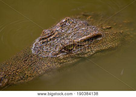 Close Up Siamese Crocodile  In Thailand