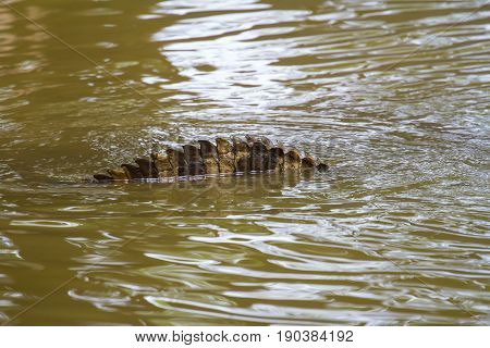 Close up tail of Siamese Crocodile in Thailand
