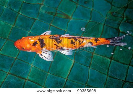 Fancy Carp or Crap or Koi fish orange or gold color, swimming in the pond that water wave.
