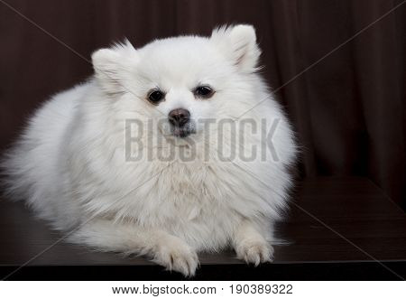 White German Spitz is on a brown background and looking directly into the lens.