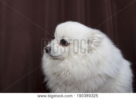 White German Spitz is on a brown background
