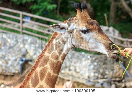 People feeding food Giraffe with vegetable at zoo of Thailand.