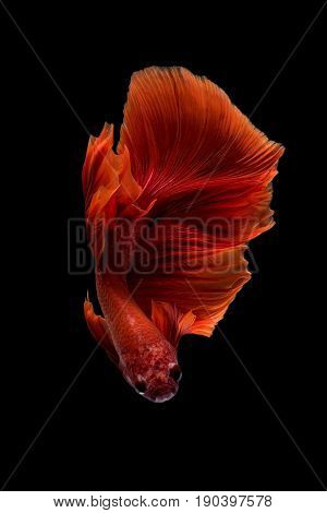 Close Up Art Movement Of Betta Fish,siamese Fighting Fish Isolated On Black Background.fine Art Desi