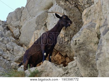 image of mountain goat on the rock