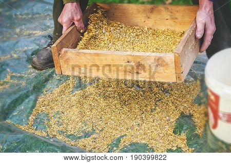 The farmer sifts the grain manually. Hands of the worker who sifts the grain of oats through a sieve. Hands of an elderly person. Disappearing profession concept